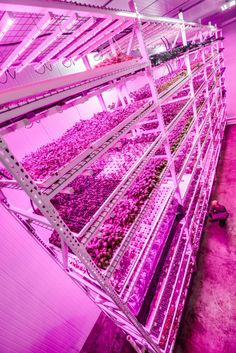 Gizmodo: Chicago's Huge Vertical Farm Glows Under Countless LED Suns  Image: Green Sense Farms revealed its two giant weather-free hydroponic grow rooms bathed in crop-optimized GE LEDs.
