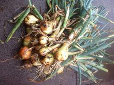 Onion Crop, Winter 2014