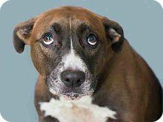 Norfolk, VA - Pit Bull Terrier Mix. Meet VIOLET a Dog for Adoption.