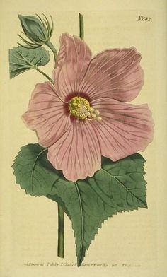 """""""Marsh Hibiscus"""" ~ beautiful!"""