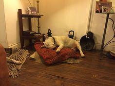 Bull Terrier, durmiendo en su almohadon.  Argentina