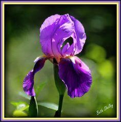 Purple Iris from my flower bed.
