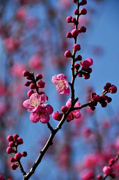 plum blossoms.