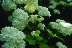Hydrangea - Snowhill Smooth