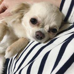 sweeet chihuahua Cute Chihuahua, Chihuahua Puppies, Cute Puppies, Cute Dogs, Dogs And Puppies, Chihuahuas, Teacup Chihuahua, Pomeranians, Doggies
