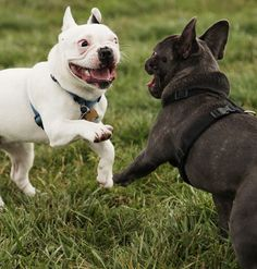 Dogs playing in action! Great expression!
