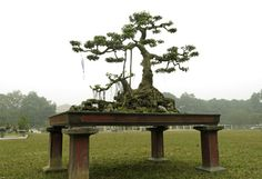 an-upright-sanh-tree-Ficus indica L   -cay-sanh-dang-truc-Around 1,500 rare bonsai of different kinds are being displayed at Thang Long Royal Citadel in Hanoi for the occasion of Tet