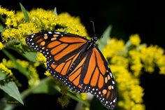 Orange Monarch Butterfly by Christina Rollo. Beautiful orange Monarch Butterfly (Danaus plexippus) feeding on yellow Goldenrod flowers in early fall. Photographed in Binghamton New York, USA. Buy fine art prints online at www.rollosphotos.com.