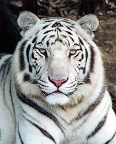 know the white tigers white tigers