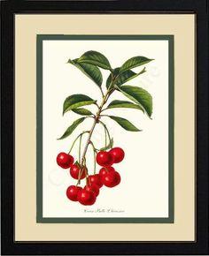 Cherries Cerise Belle L'herissier Fruit Art Print   Restored #vintage #fruit #art print