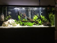 55 gallons planted tank (mostly live plants and fish) - 55 gallon planted angel fish tank Cichlid Aquarium, Aquarium Aquascape, Aquarium Setup, Aquarium Design, 55 Gallon Aquarium, Cichlid Fish, Tropical Fish Aquarium, Tropical Fish Tanks, Aquarium Fish Tank