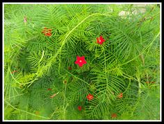 Cypress Vine....I have it climbing a post from the heart of a pine tree.  Hummingbirds LOVE this vine!! GROWS like crazy and is very invasive, so you have to keep it under control.