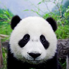 Bing Deutschland | mundo da Biologia!: Panda - Fotos e um Fichamento
