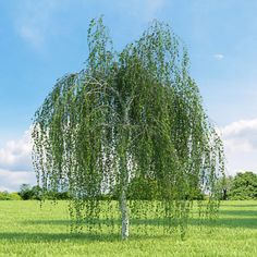 Bbetula pendula – a fast-growing silver birch with striking white bark and an attractive weeping habit.