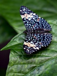 ~~Blue Cracker Butterfly From Costa Rica by Beth Crawford 65~~