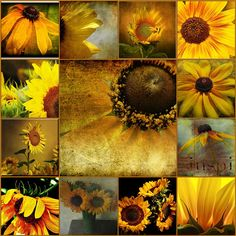 Maintaining a flower garden is even painless than planting one Sunflower Garden, Sunflower Art, Yellow Sunflower, Sunflower Quotes, Happy Flowers, Beautiful Flowers, Beautiful Pictures, Sun Flowers, Beautiful Moon