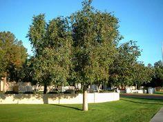 """STREET TREE: """"Bottle Tree"""" Brachychiton populneus. http://en.m.wikipedia.org/wiki/Brachychiton_populneus"""