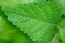 What is lemon balm? Growing and cooking with this fragrant herb including some classic recipes. Health benefits of lemon balm and lemon balm oil