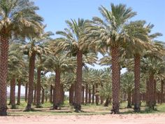 medjool palm - Google Search