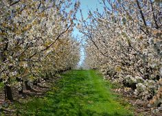 Cherry Orchard!