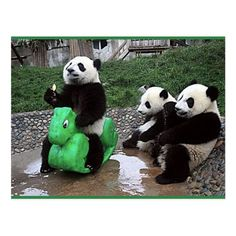 well for postcrossing Funny Animal Pictures, Cute Funny Animals, Cute Baby Animals, Animals And Pets, Baby Pandas, Baby Bears, 3 Bears, Panda Funny, Cute Panda