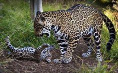 Детеныш ягуара и его мать.