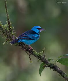 Blue-Dacnis (Dacnis cyana) Central and South America