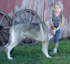 German Shepherd, RoyalAir silver sable