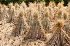 Stock image of 'Rice sheaf after harvest on the field'