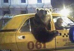 Bit of a squeeze: A bear managed to hitch a ride in the back of a Russian taxi cab...