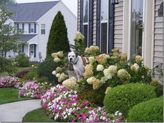 Love the hydrangeas and the impatiens in front....and of course, the bulldog!!