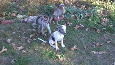 Hoots Catahoulas we sell NALC puppies
