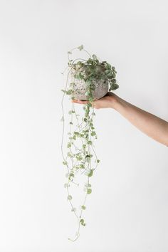 Hearts on a string (Ceropegia Woodii) is just one of the beautiful indoor plans available from London based Forest, a boutique from the Fresh Flower Company. We love this hanging plant, with a rustic planter it is a great way to add a little bit of green into your home.