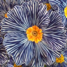 Zebra Blue Primrose | Content in a Cottage