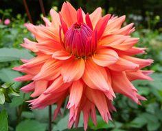 Dahlia 'Sonic Bloom' - grew in So pretty! Garden Trees, Garden Plants, Garden Stairs, Unique Flowers, Beautiful Flowers, Sonic Bloom, Herbaceous Perennials, Zinnias, Chrysanthemum