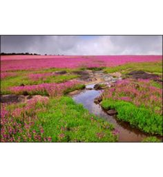 Kaas Plateau, Valley of Flowers, India | 2014
