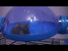 Djungarian Hamster / Chomik dżungarski