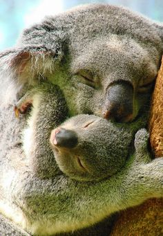 Koala Snuggle. #exchangingbeauty