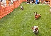 Wiener Dog Races at Spass-Tagen 2016! Picnic Blanket, Outdoor Blanket, Picnic Quilt