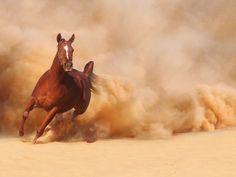 Les fonds d'écran - Un Pur Sang Arabe au galop dans le sable