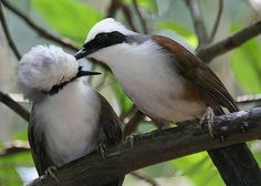 White-crested Laughing Thrush (photos By Kampang)