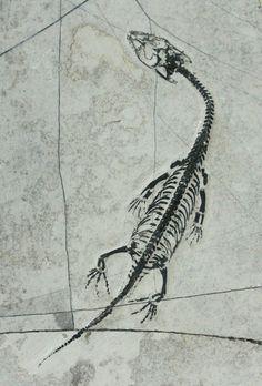 Keichousaurus fossil