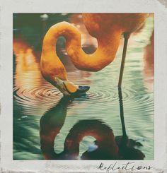 #Reflections. #PolaroidFx #Polaroid #Frame #Instant #Vintage #Collages #Bird #Birds #Animals #Flamingo #Nature
