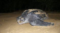De este tipo de tortugas sólo quedan 2.300 (Shutterstock)