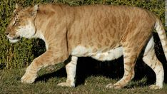 """One of Australia's only two """"tigons,"""" a manmade hybrid created by crossing a male tiger with a lioness, prowls at the National Zoo in Canberra on July 4, 2004. Bearing the stripes of a tiger and the physique of a lioness, tigons are usually infertile."""