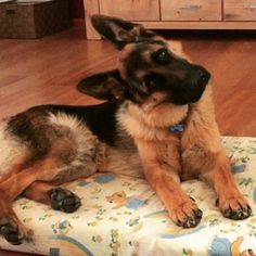 15 German Shepherds Who Don't Understand You Right Now