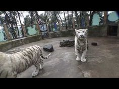 Tiger, Mafia, Entertainment, China, Cats, Animals, Movie, Separate, Film Director