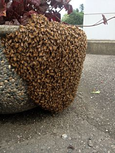 Swarm of hunny bees by our office in Abbotsford BC. Side note: it's illegal to kill honey bees in BC..