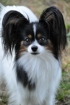 I think I want my Papillon to look kind of like this--mostly black, but partially brown, too.