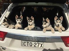 We have 4 siberian husky puppies for sale. We have 4 girls with dark eyes. They were born on 12th March 2015 and are ready for thei new homes. They are beautiful natured little pups and are being handled everyday day by my family, so will be great with children - https://www.pups4sale.com.au/dog-breed/488/Siberian-Husky.html